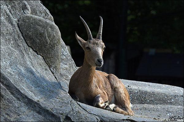 Sibirischer Steinbock - Wuppertal Zoo - Aug. 2016