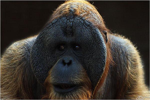 Orang Utan - Zoo Holland - Mrz. 2017