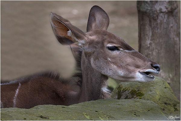 Grosser Kudu - Zoo Kerkrade - Mrz. 2018