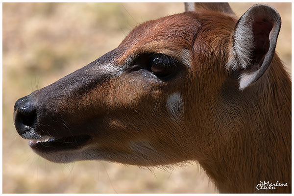 Sitatunga - Zoo Köln - Aug. 2018