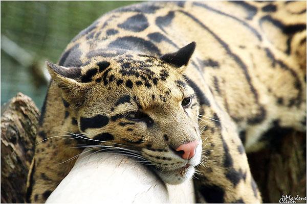 Indochina-Nebelparder - Zoo Dortmund - Sep. 2016