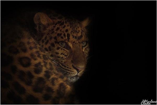 Nordchinesischer Leopard - Zoo Holland- Mrz. 2017