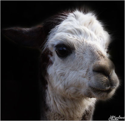 Guanako Lama - Zoo Holland - Mrz. 2017
