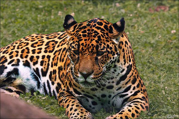Jaguar - Zoo Krefeld - Jul. 2016