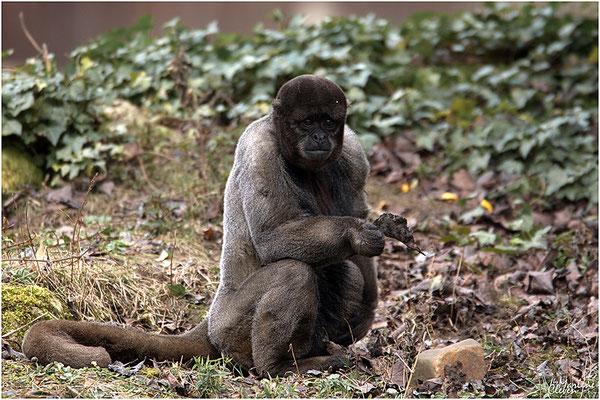 Wollaffe - Zoo Kerkrade - Mrz. 2018