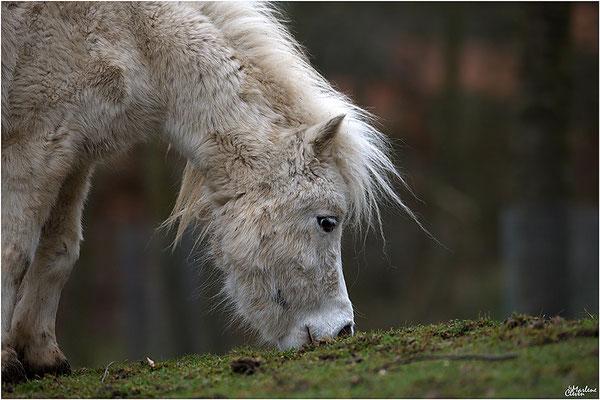 Shetlandpony -  Zoo Kerkrade - Mrz. 2018