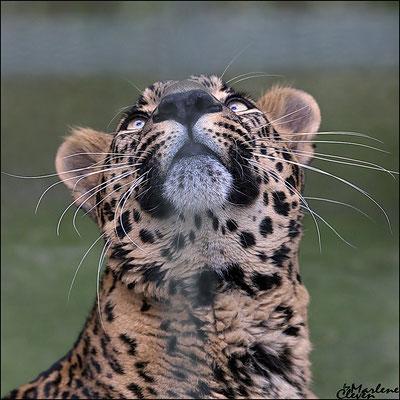 Indischer Leopard - Zoo Wuppertal - Jan. 2018