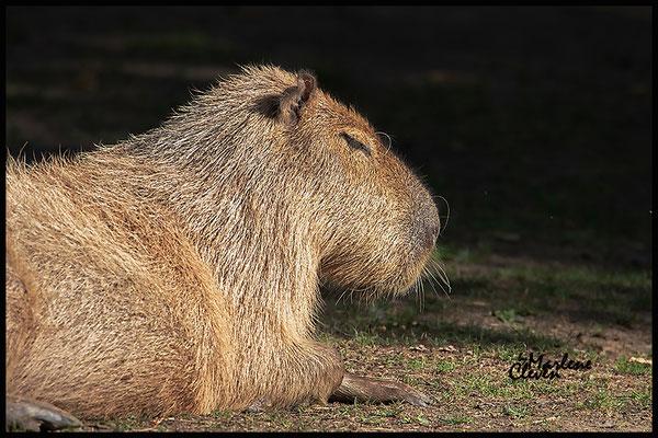 Capybara - Köln Zoo - Aug. 2018