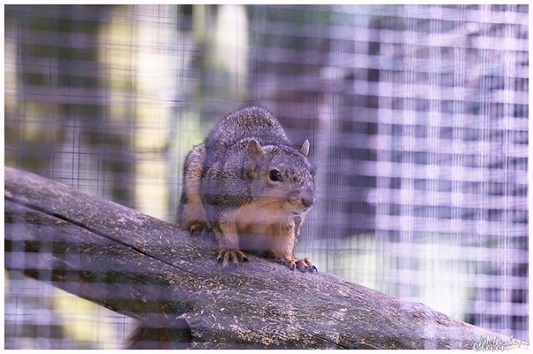 Fuchshörnchen - Tierpark Kleve - Jul. 2018