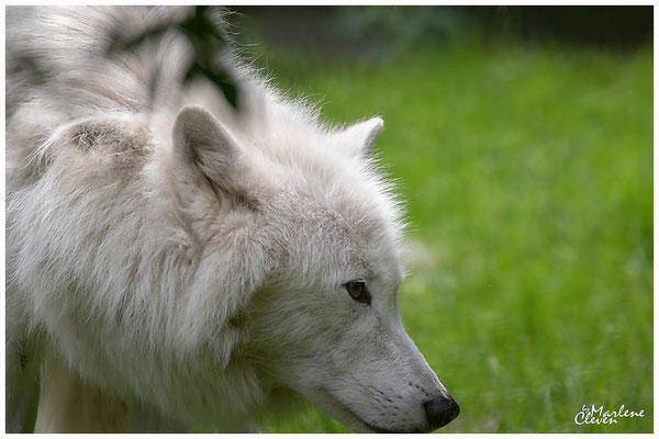 Polar - Arktischer Wolf - Zoo Duisburg - Jun. 2018