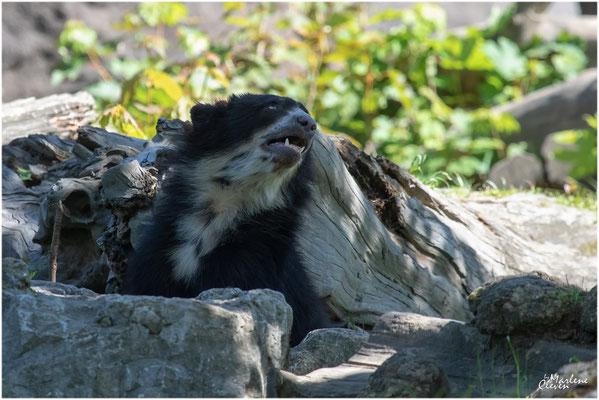 Brillenbär - Duisburg Zoo - Mai 2019