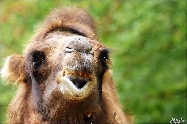 Kamel - Dortmund Zoo - Sep. 2016
