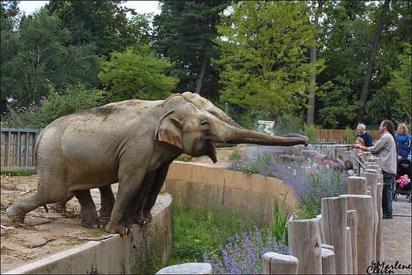 Asiatischer Elefant - Zoo Krefeld - Jul. 2016