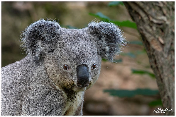 Queensland-Koala - Zoo Duisburg - Jun. 2018