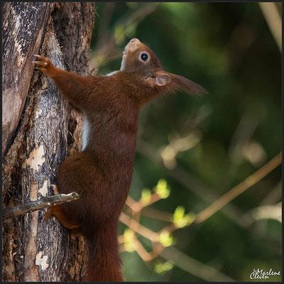 Eichhörnchen - Japanischer Garten Leverkusen  Mrz. 2016