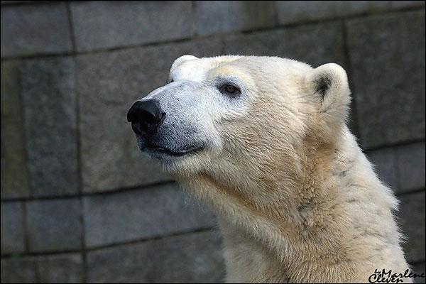 Eisbär - Polarbär - Zoo Wuppertal - Jan. 2018
