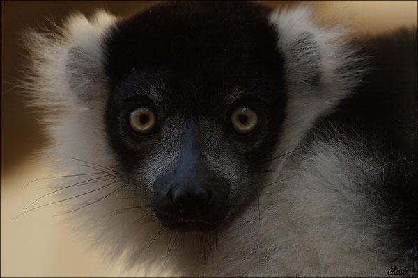 Gürtel-Vari - Zoo Köln - Sep. 2016