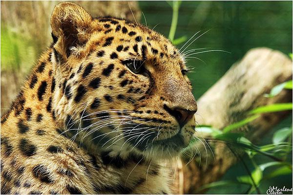 Amurleopard - Zoo Dortmund - Sep. 2016