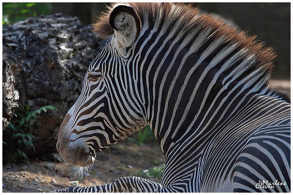 Grévy Zebra - Zoo Köln - Aug. 2018