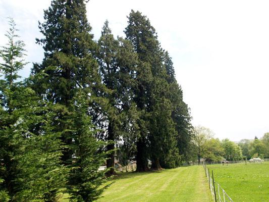 Les séquoias géants du parc