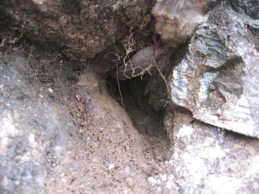 Frisch geöffnete Kluft mit  Fensterquarzen (bis 10 cm)