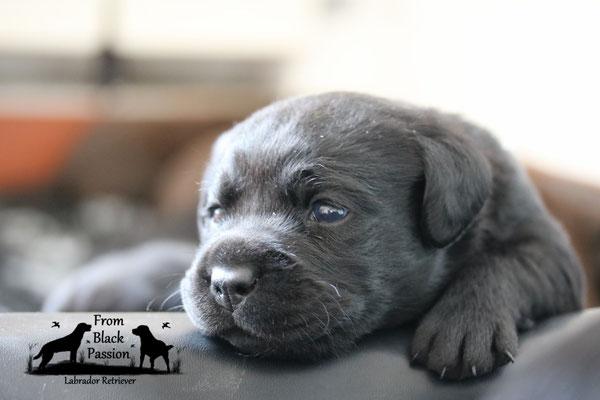 Welpen Labrador From Black Passion Hobbyzucht Schweiz