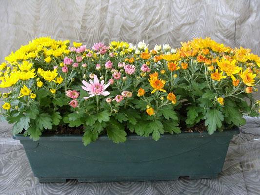 Pompon en jardiniere tricolore 15 €