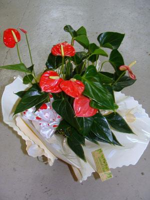 Anthurium rouge en collerette