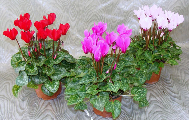 Mini-cyclamen en pot