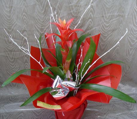 PF6-Le guzmania rouge (en collerette)