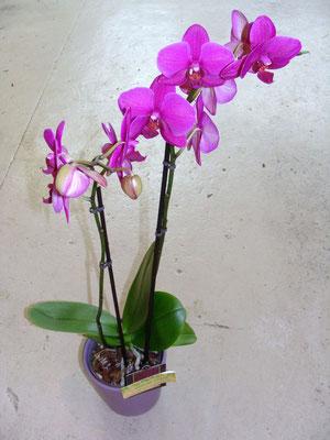 Phalaenopsis dans un cache pot