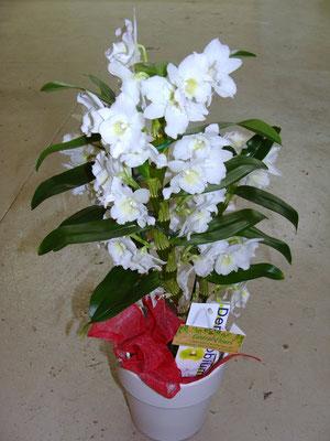PF5-Le dendrobium blanc (avec cache pot)