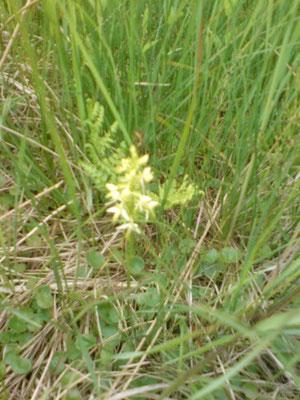 Weiße Waldhyazinthe (Platanthera bifolia), auch eine Orchidee