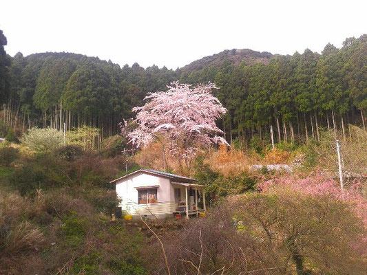 ふるさと村の離れ建物、桜満開