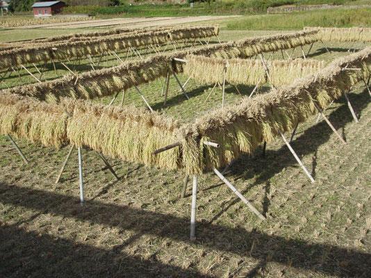 稲刈り後の稲の掛け干し