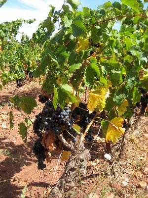 Kleine Erfrischung, Weintrauben von den Römern