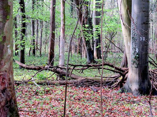Kartierung von Spechtbäumen