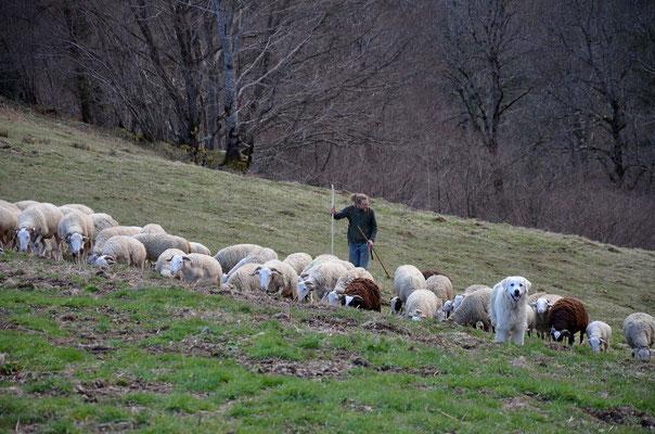 brebis de la ferme d'Esbintz, Ariège, Pyrénées