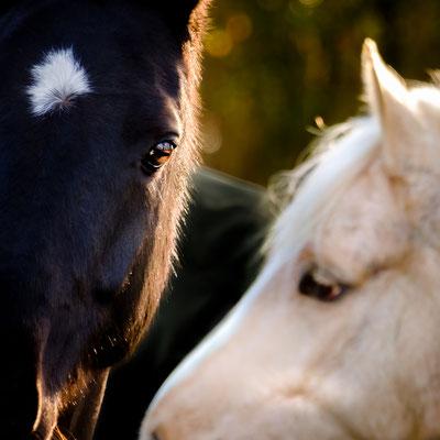 Pferdeliebe, fotografiert in Nordholz