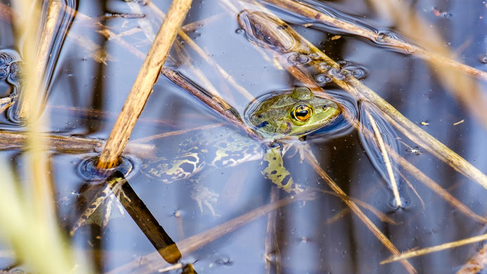 Teichfrosch im Badesee bei Laumühlen an der Oste