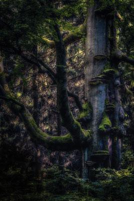 Burg Hohnstein im Harz: Baum auf dem Poppenberg