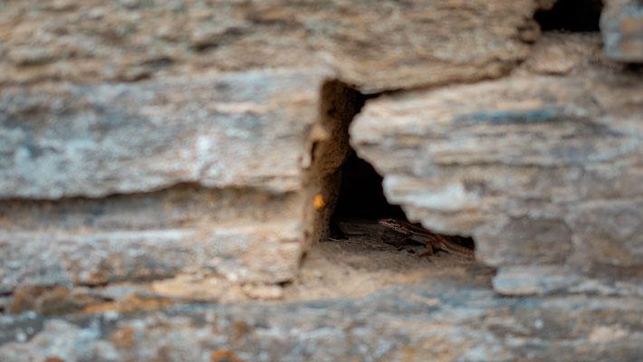 Mauereidechse, fotografiert nähe Beilstein/Mosel