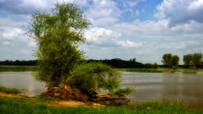 Damnatz (Elbe): Baum am Elbeufer