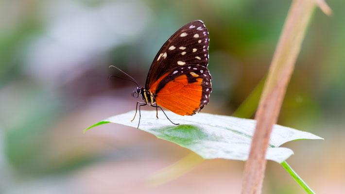 Tigerwing (Mechanitis polymnia isthmia), fotografiert im Garten der Schmetterlinge in Friedrichsruh