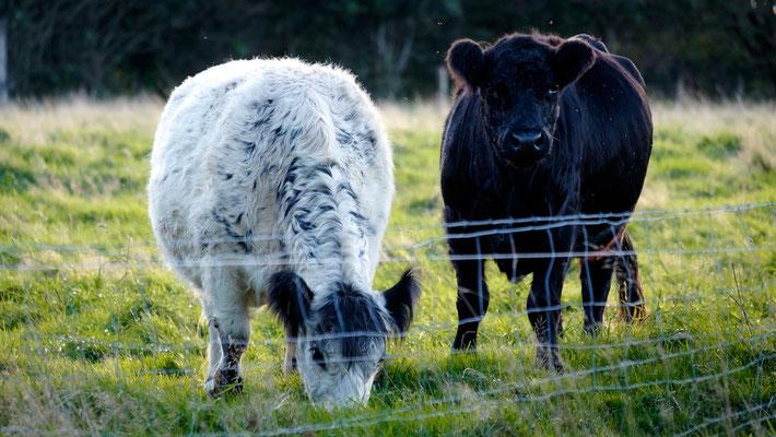 Galloways,  Britische Rinderrasse aus Schottland auf Weide in Nordholz