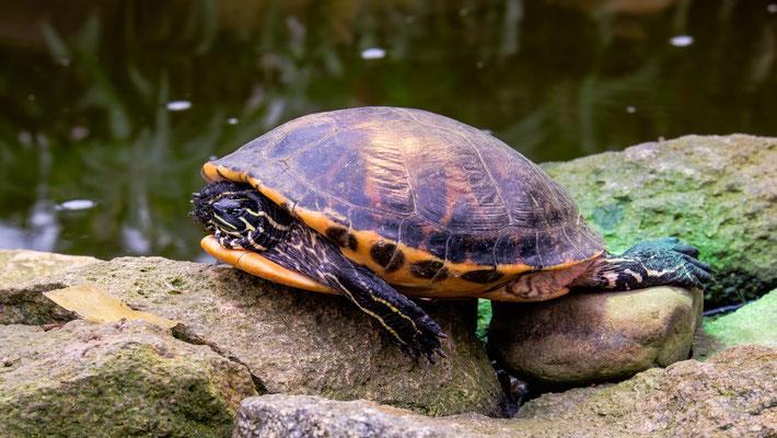 Gelbwangenschmuckschildkröte im Garten der Schmetterlinge in Friedrichsruh