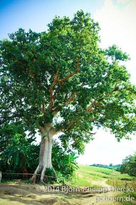 Baum - Vinales