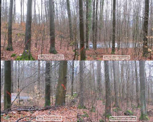 Fällmarkierungen als Baumgruppen - Einzelaufnahmen siehe oben