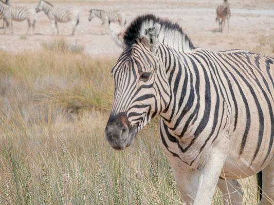Zebras haben wir in Massen gesehen