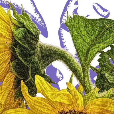Bildausschnitt: Sonnenblume violett